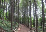 메타세쿼이아 숲길 사진